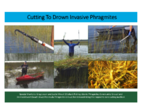 Cut to Drown Phragmites Postcard